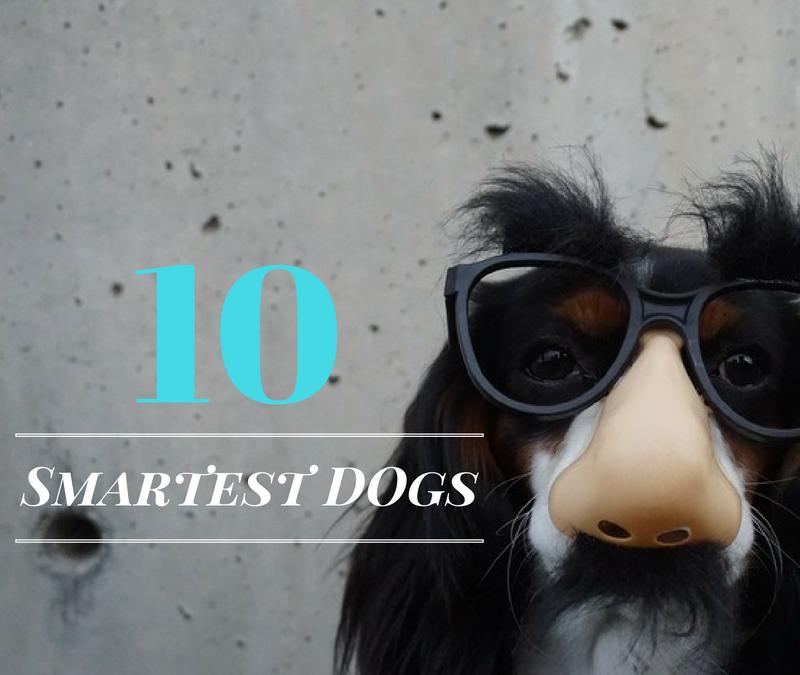 10 Smartest Dogs