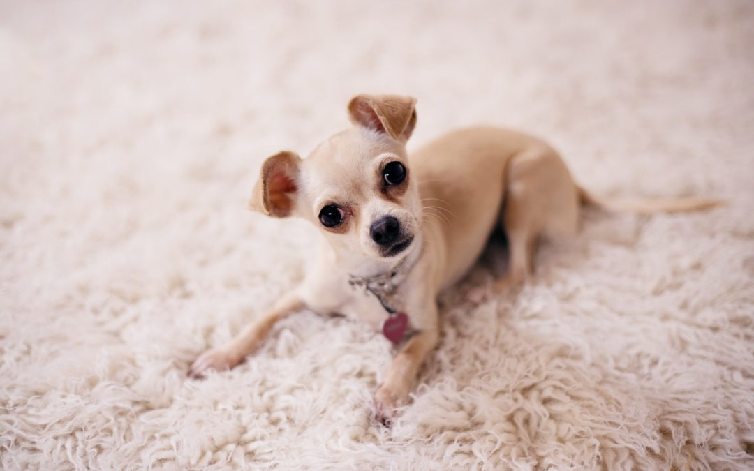 How to Care for a Chihuahua: Basics Tips