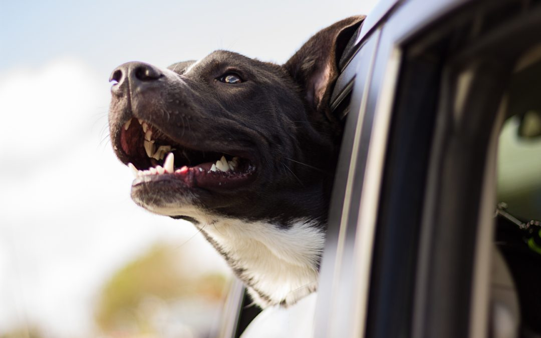 Your Number One Travel Companion: Top 10 Tips For Road Tripping with your Dog