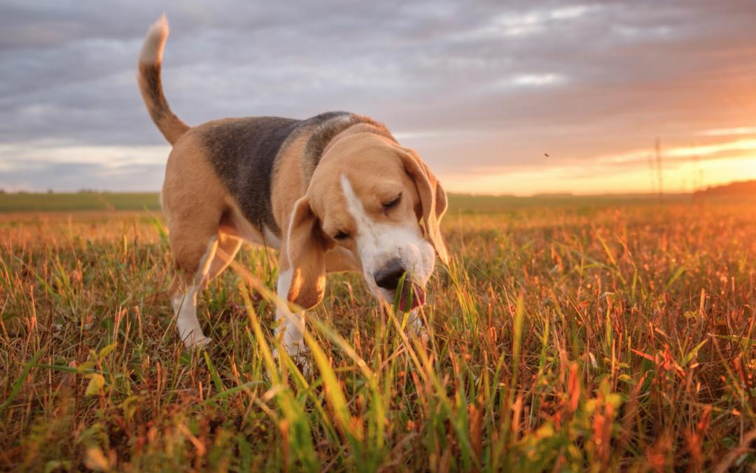 Understanding Dog Behavior: Why Does My Pet Eat Grass?