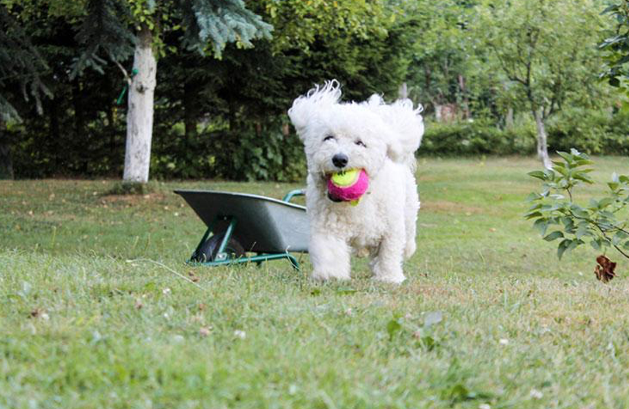 The Facts About the Bichon Frise