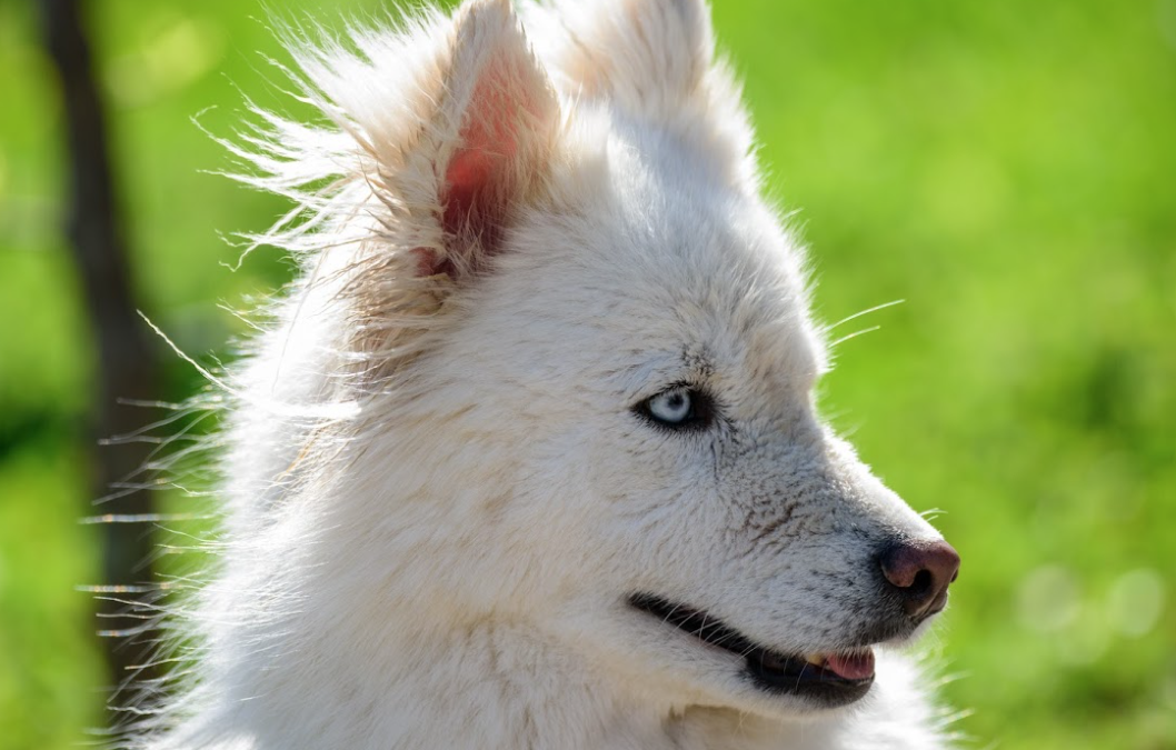 A Complete Care Guide For Your Huskimo Breed